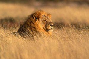 Telephoto shot of lion on safari